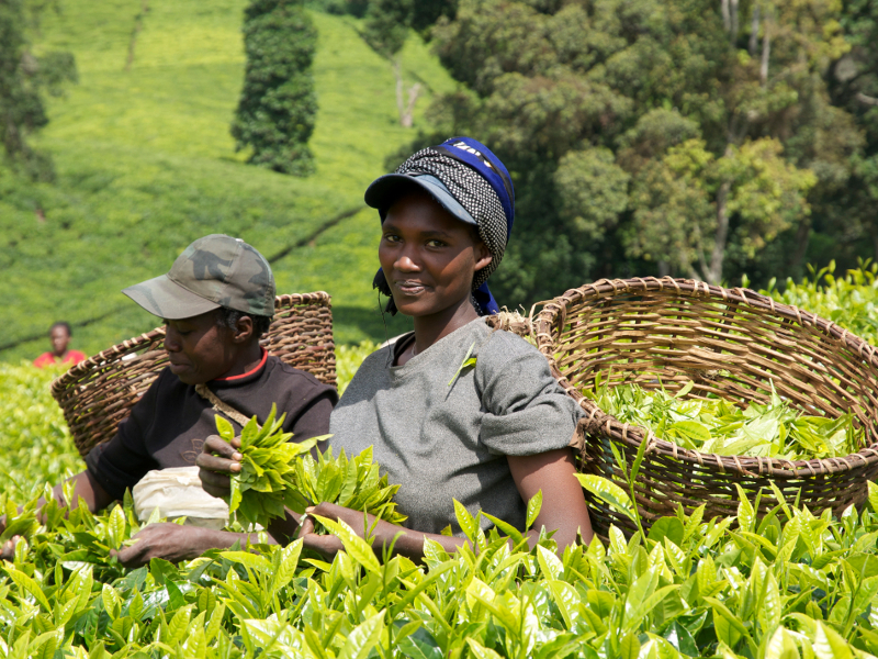 Cafedirect fairtrade tea and coffee growers in Kenya